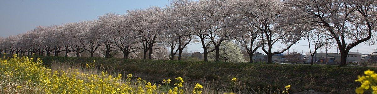 石田川の桜並木 2018